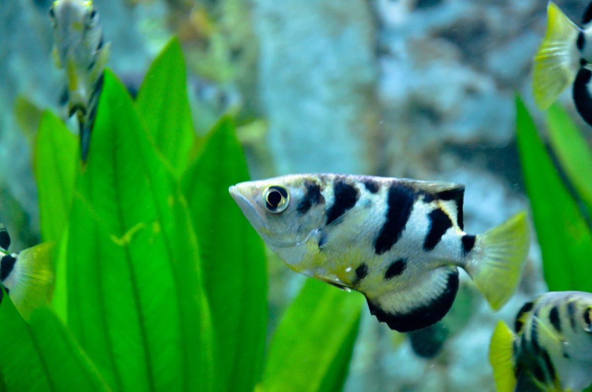 TROPICAL FISH - ARCHERFISH