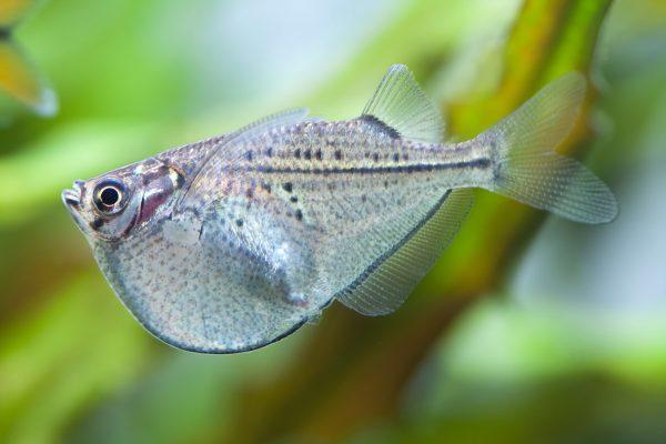 TROPICAL FISH - COMMON HATCHETFISH