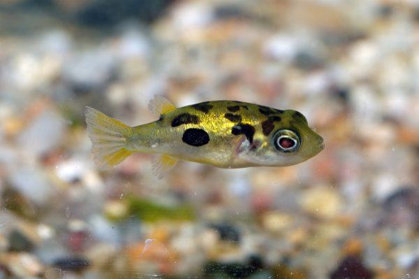 TROPICAL FISH - DWARF PUFFERFISH