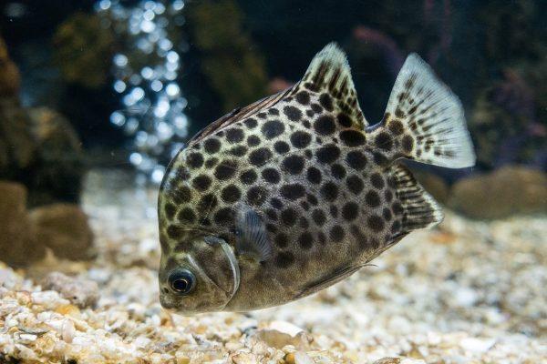 Tropical Fish - Green Scat