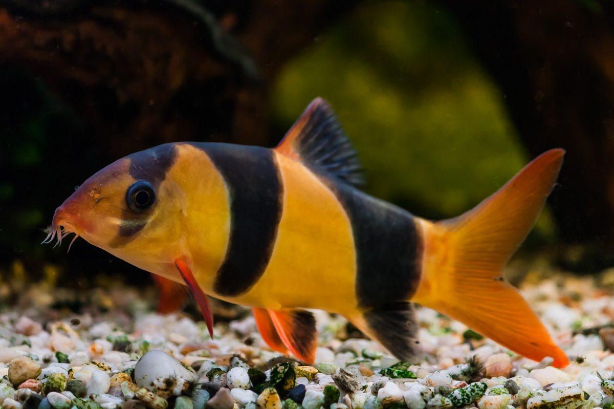 Tropical Fish - Clown Loach